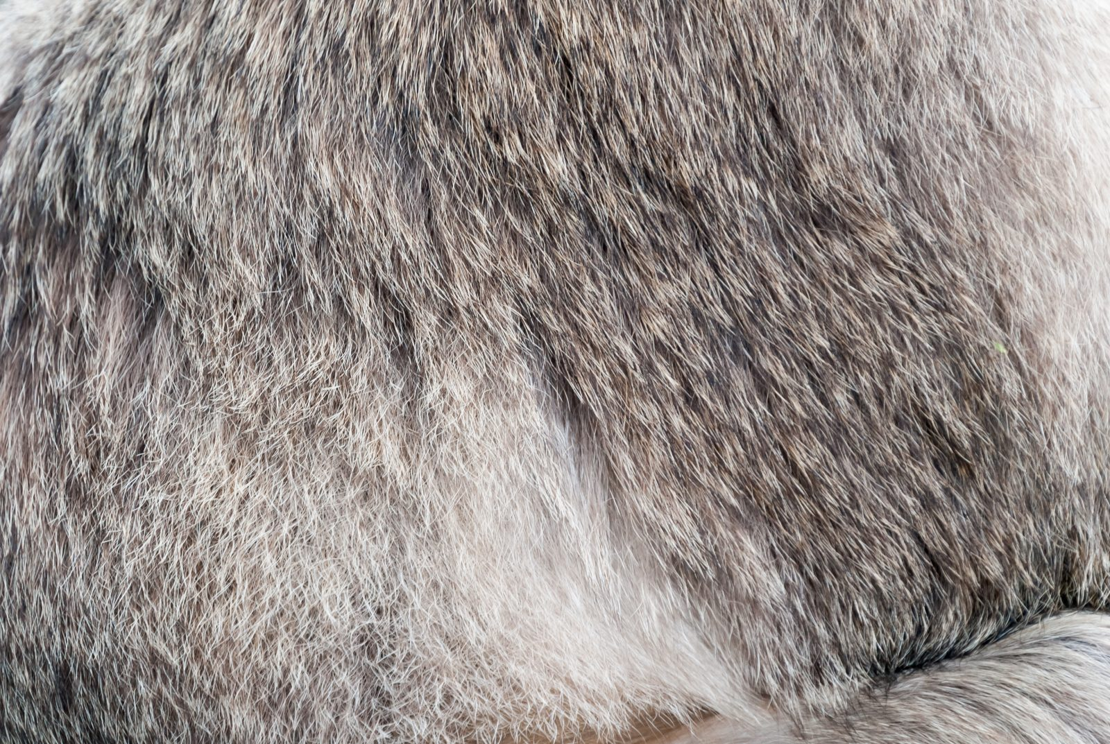Raccoon fur close-up texture