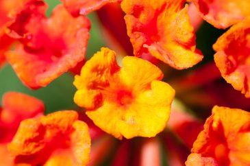 Red Orange Small Flowers