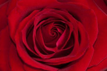 Red rose flower heart