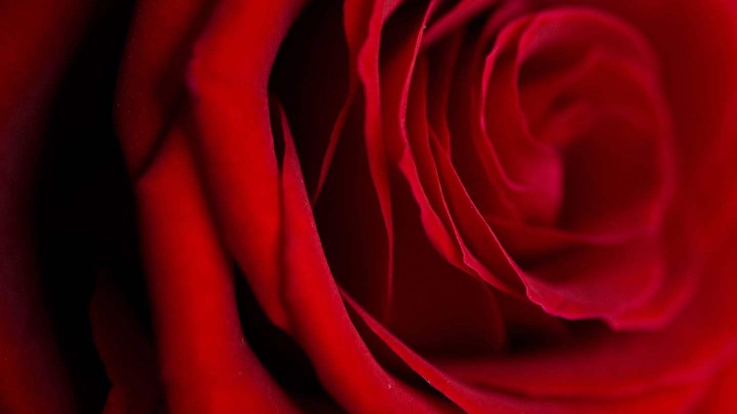 Free Photo Rose Close-Up Red Flower
