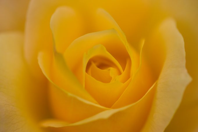 Soft Yellow Abstract Rose Heart