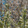 Spring white flowers tree full frame