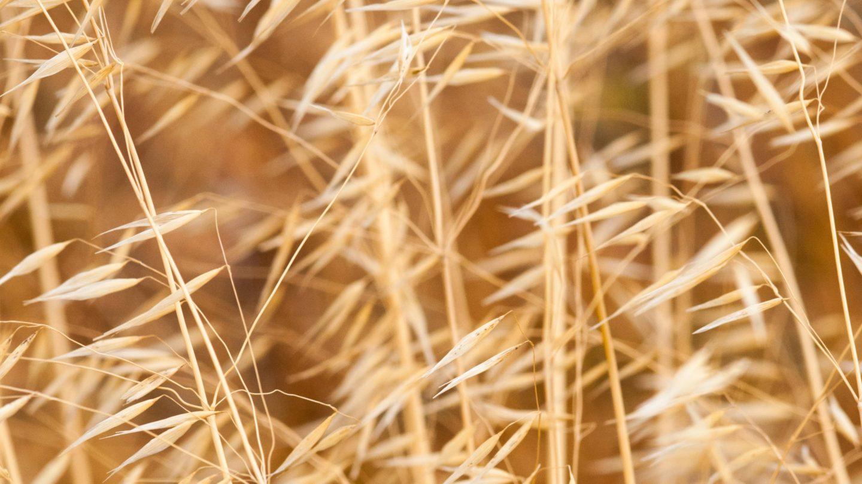 Summer wheat golden yellow wheat pattern photo