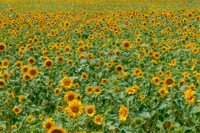 Sunflowers field pattern background landscape