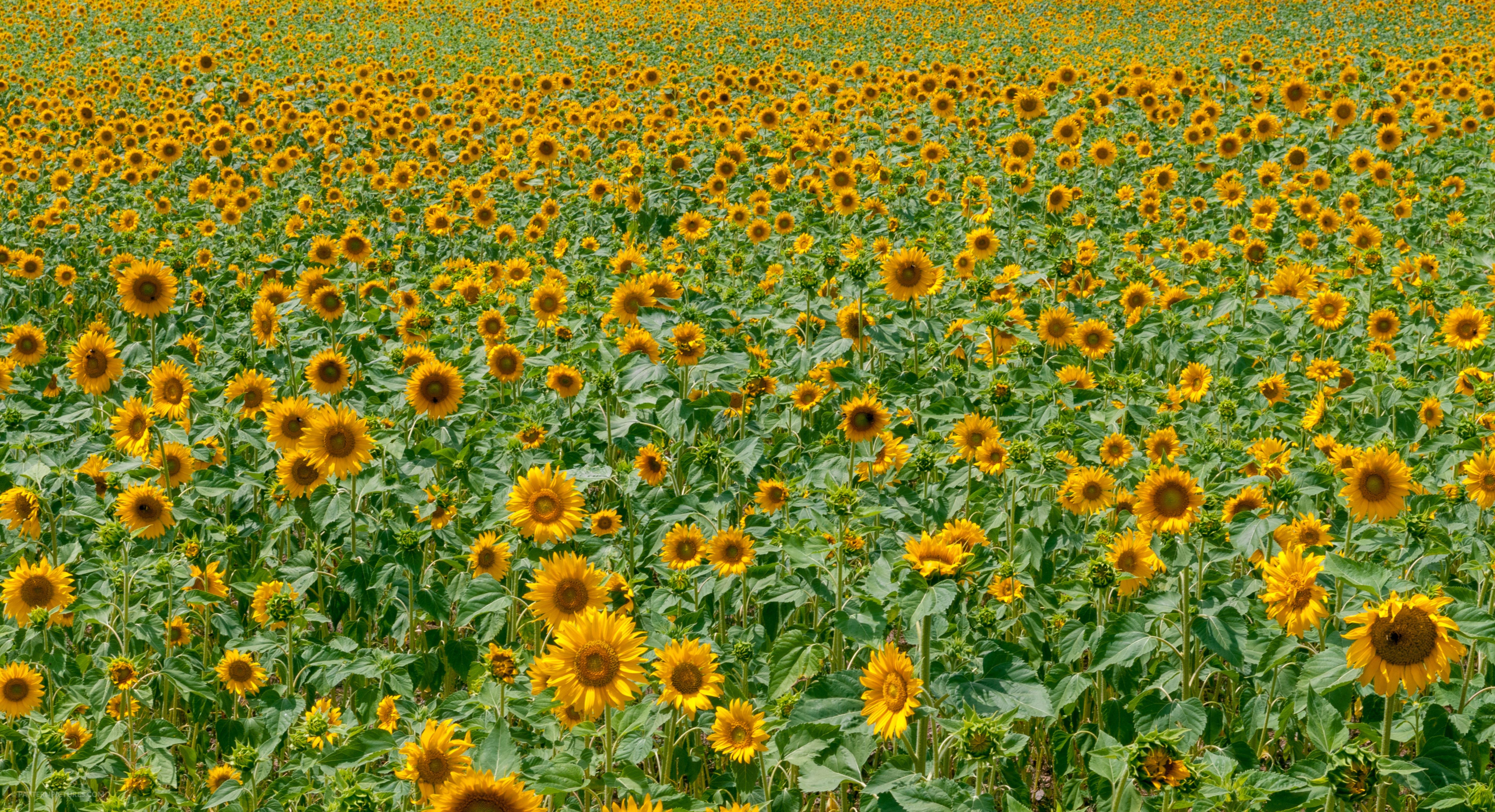Sunflowers field pattern background landscape