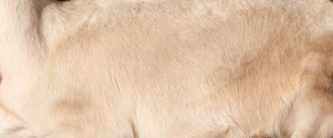 Sunlit goat fur texture
