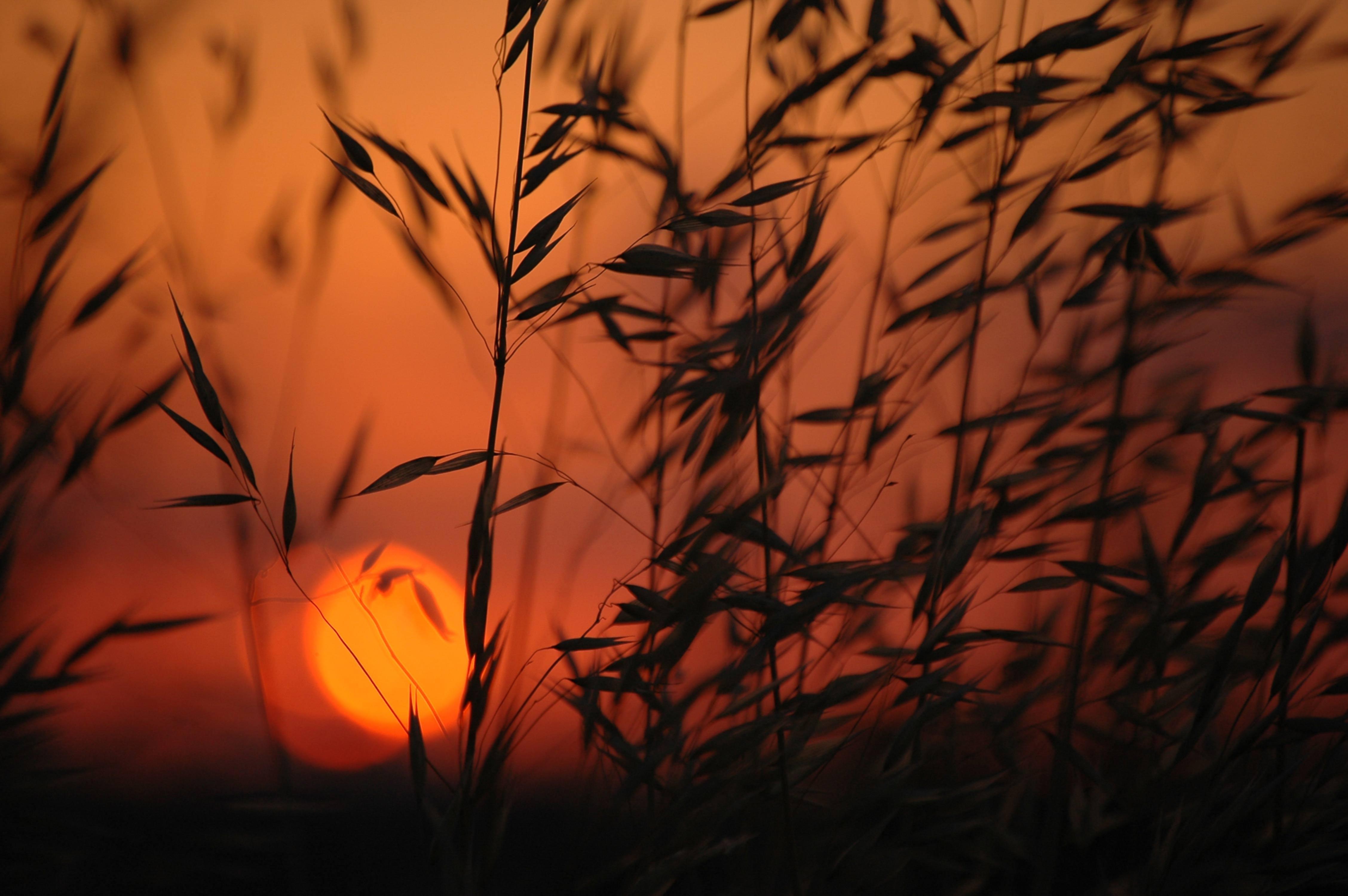 Sunset Through the Corn