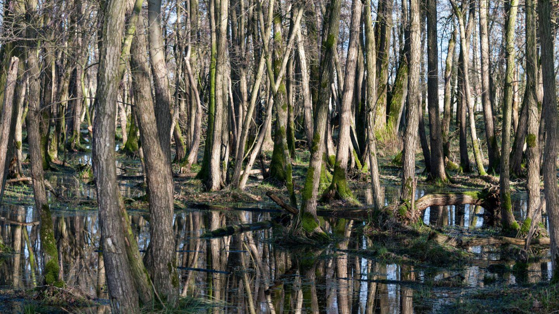 Swamp Trees in Water Landscape