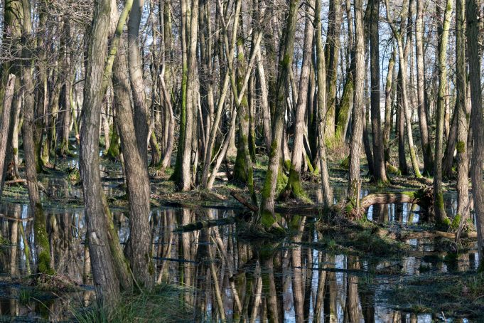Swamp Trees in Water Landscape