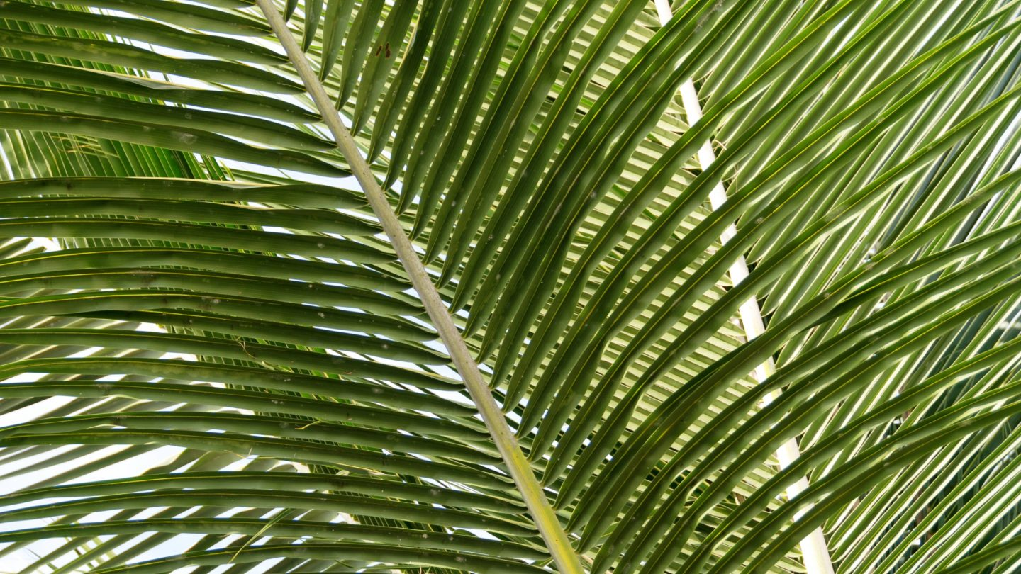 Tropical nature exotic close up of green palm tree leaves