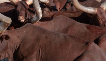 Watusi cattle with long and large horns