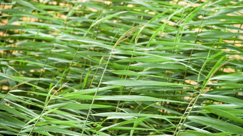 Green Wheat Like Blades