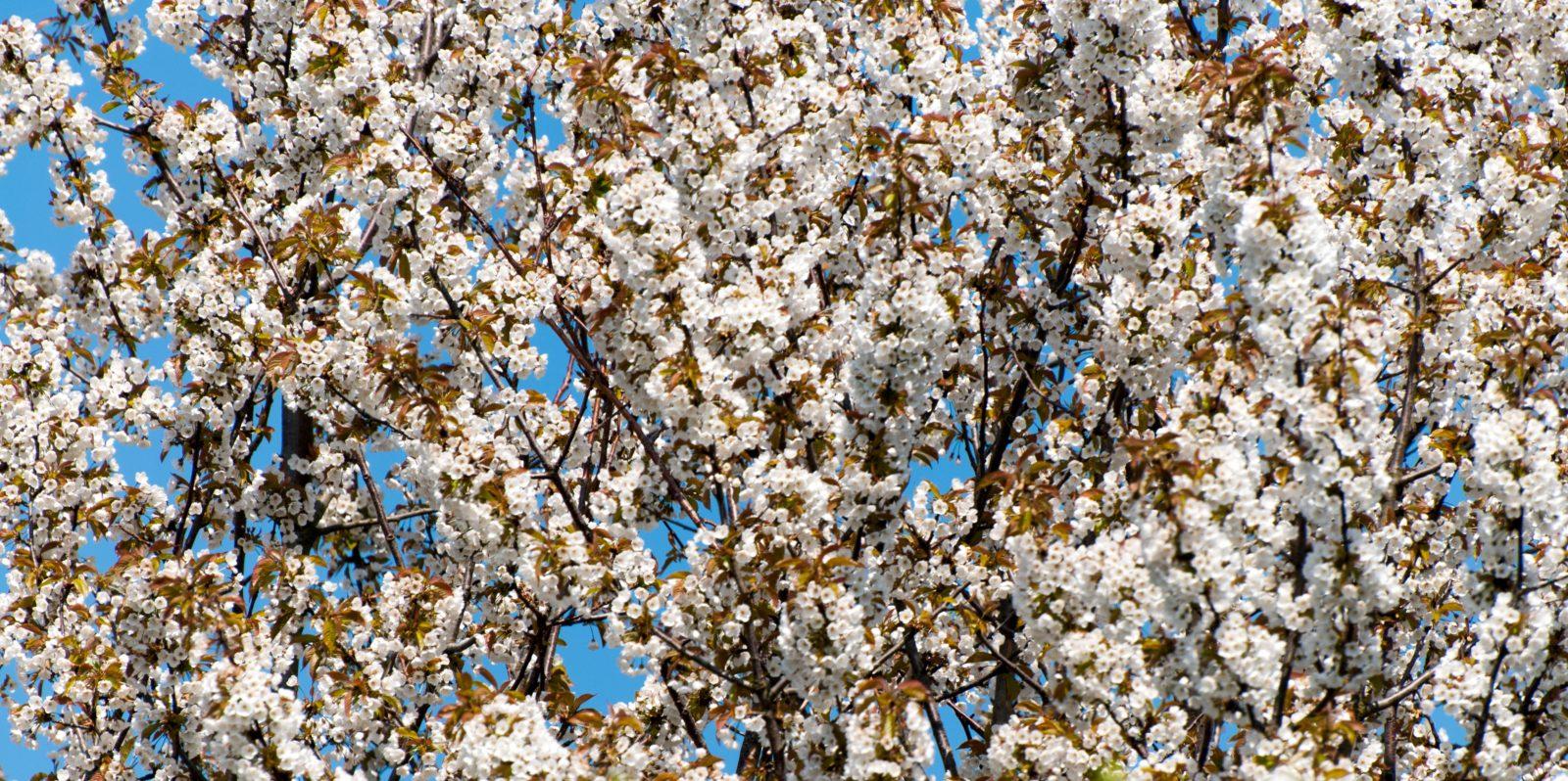 White Flowers Tree