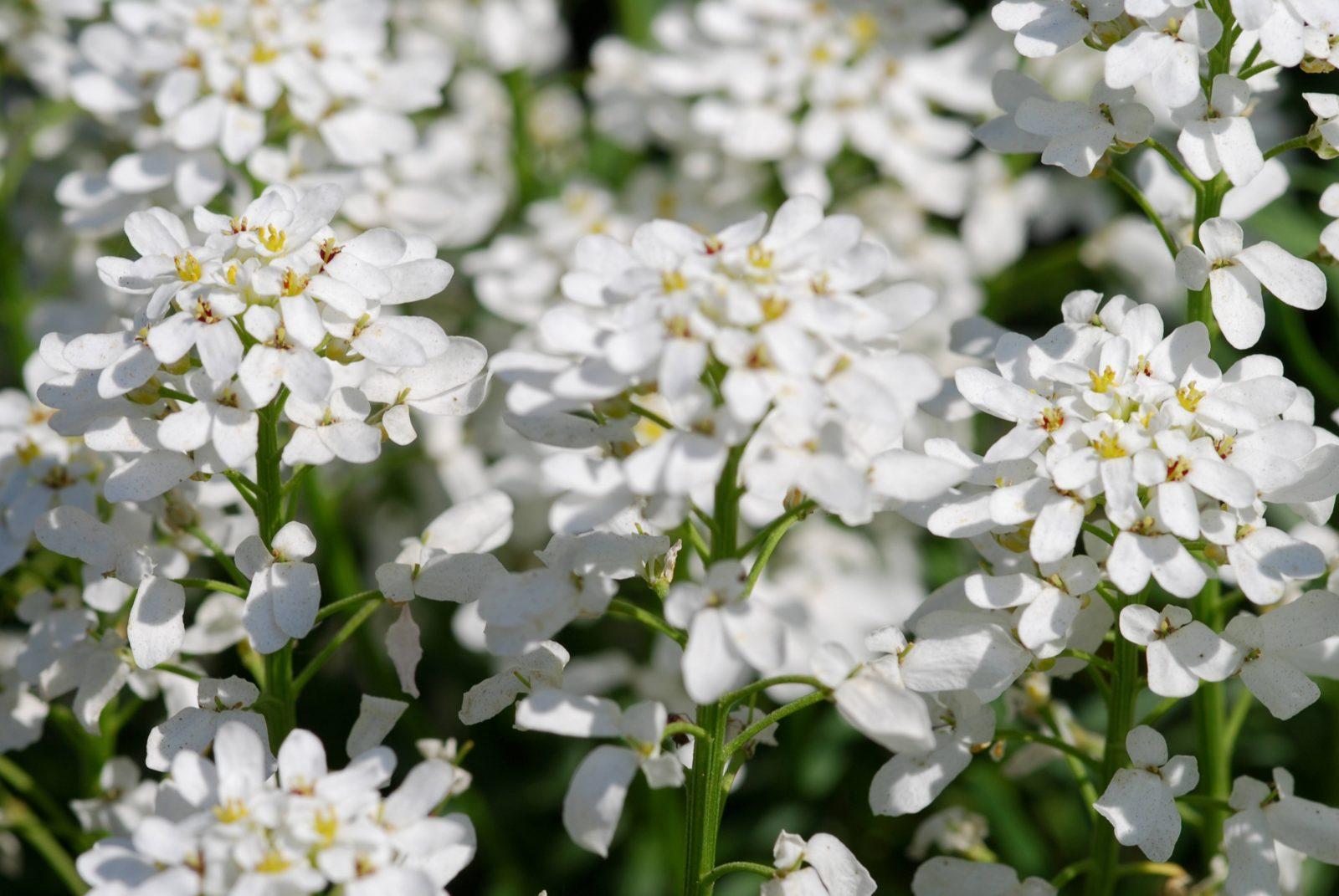 White flowers background free photo