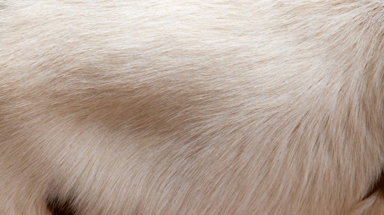 White Goat Fur Back