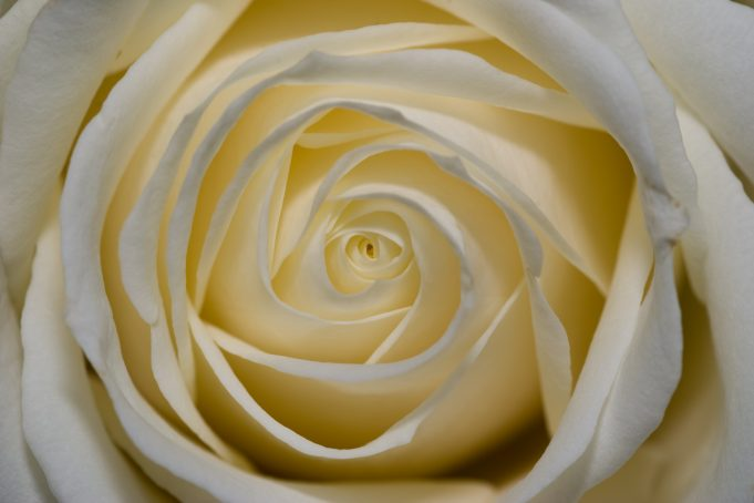 White rose flower up close background