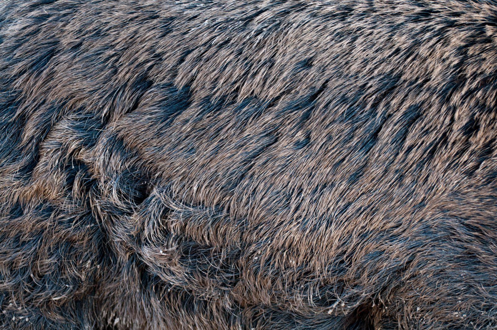 Wild pig fur skin texture close-up