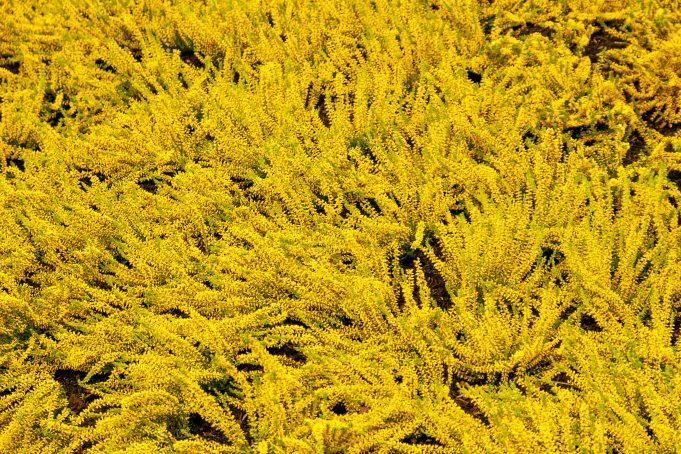 Yellow lavender wavy background photo