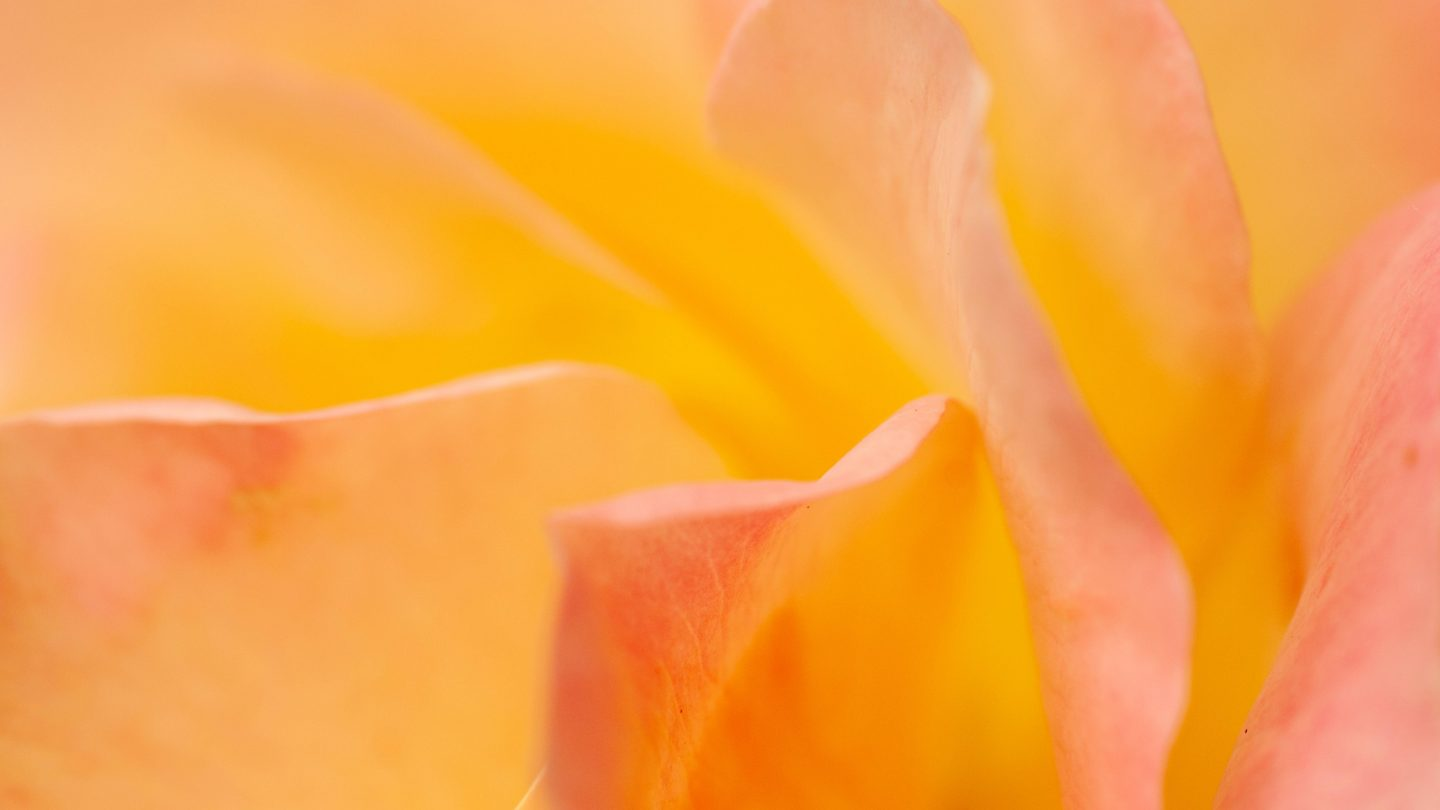 Yellow pink flower soft tones rose leaves