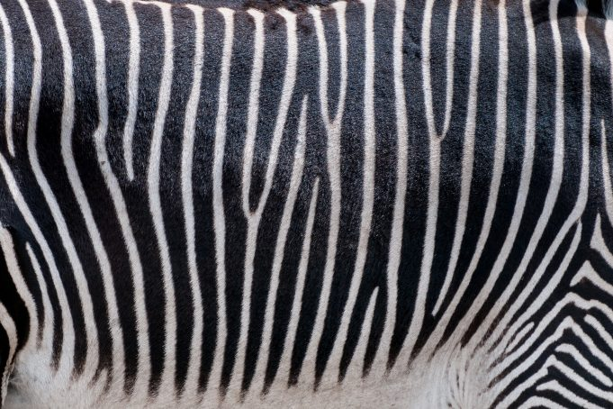 Zebra print pattern photo