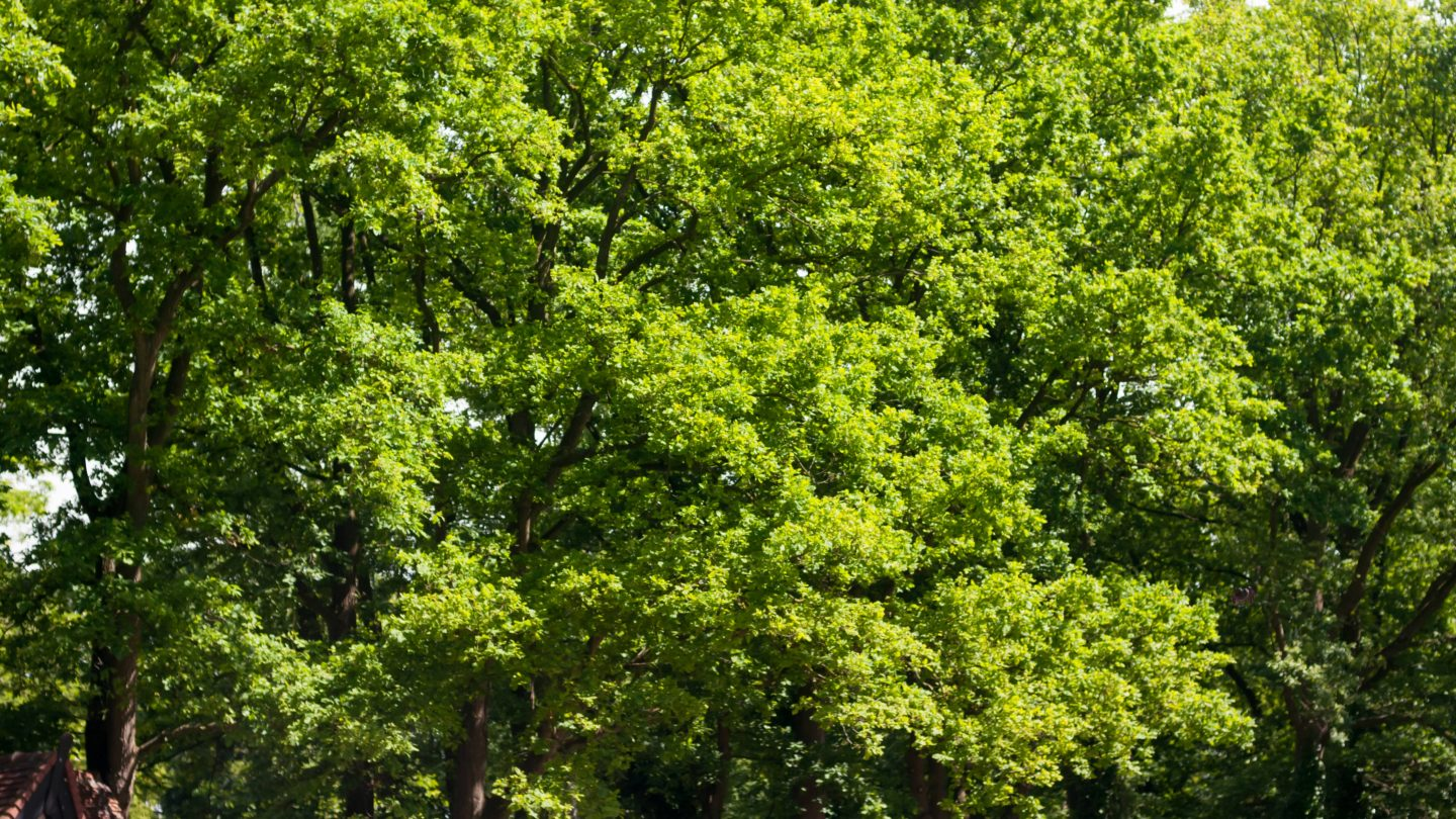 Big green trees in the summer sun