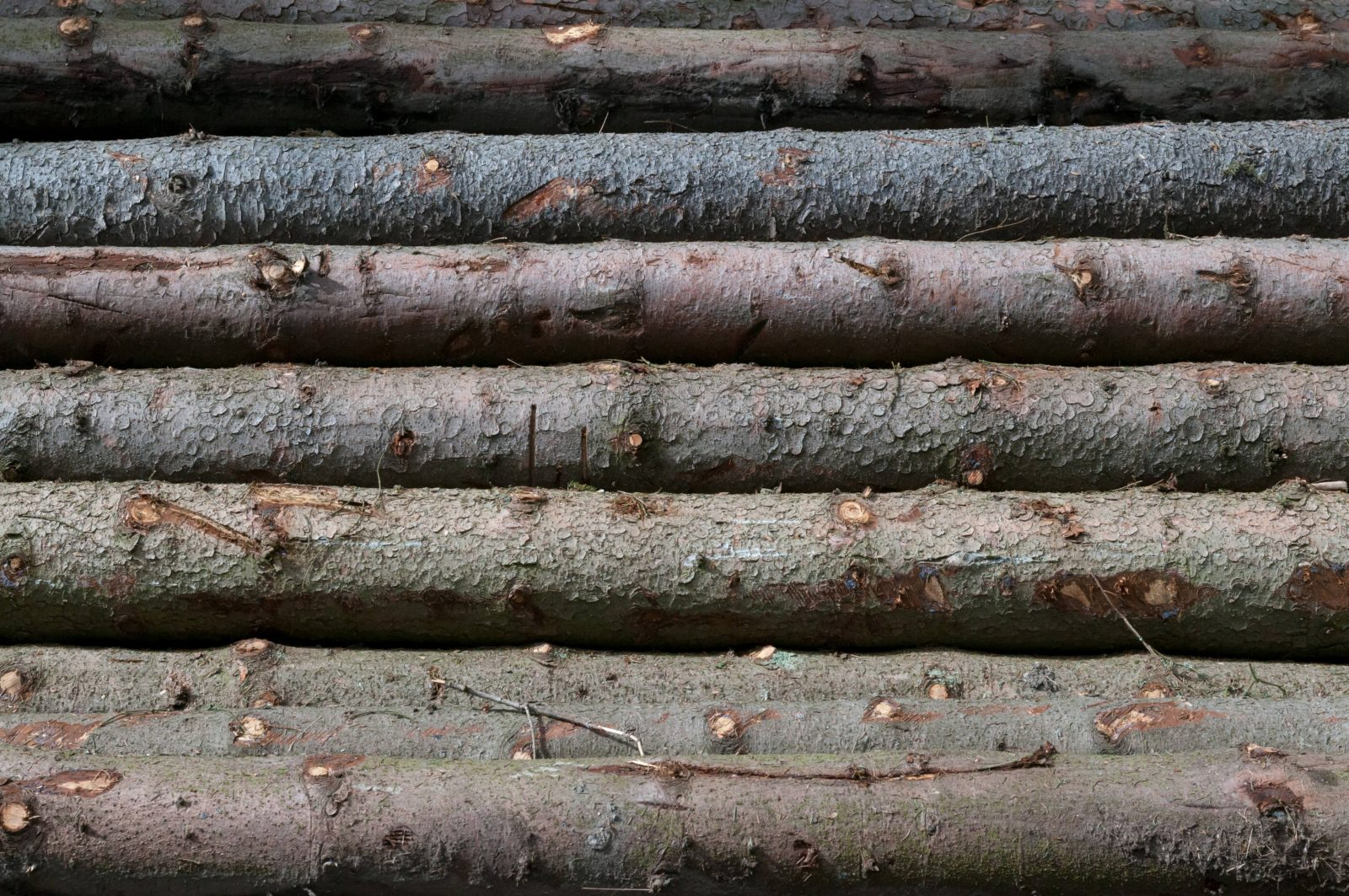 Cut down trees lined up