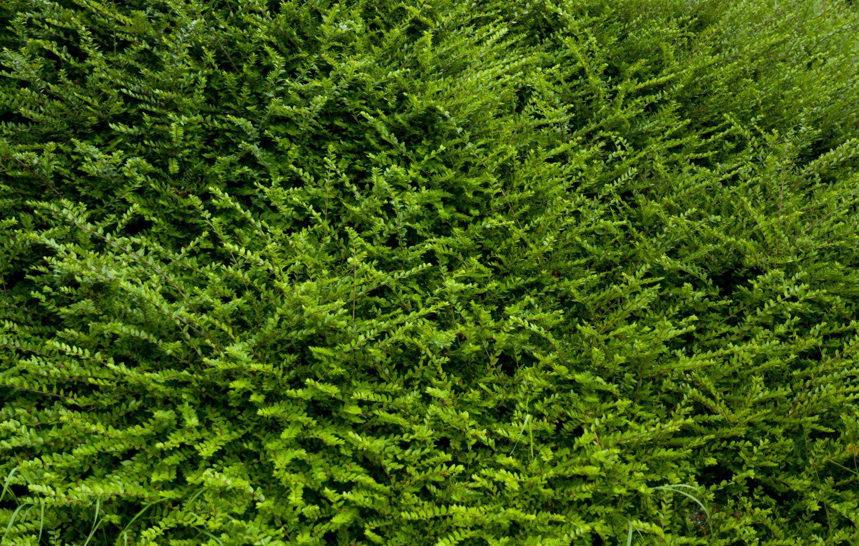 full green bush texture