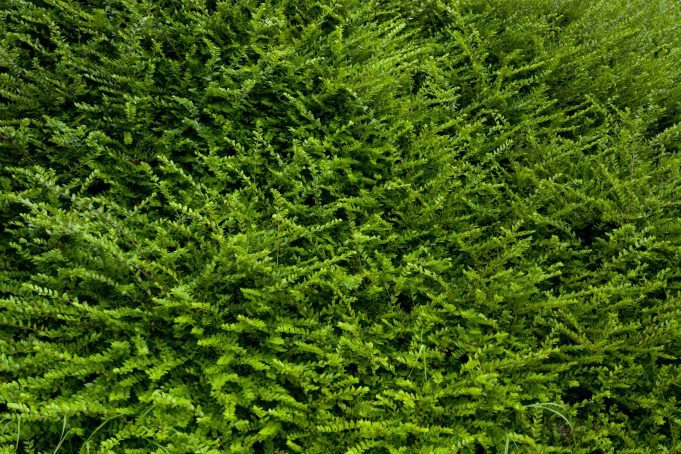 full green bush texture