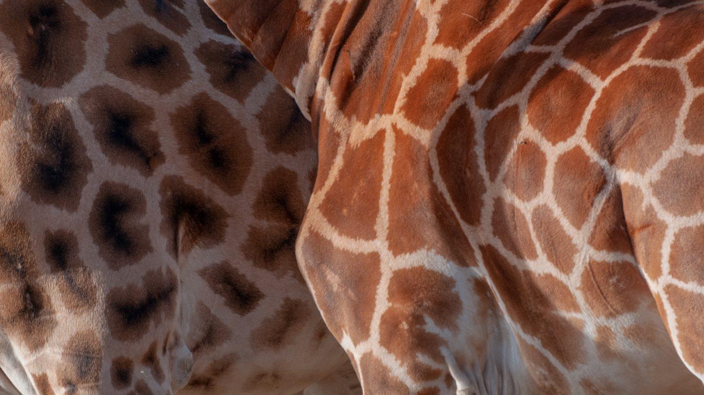 Giraffe pattern differences