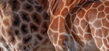 Giraffe pattern differences