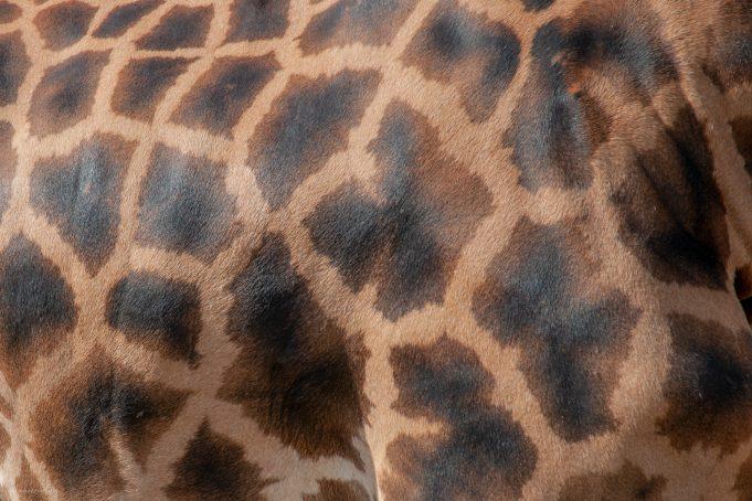 Giraffe skin texture full frame