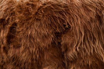 highlander bull fur background