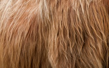 highlander bull hair texture