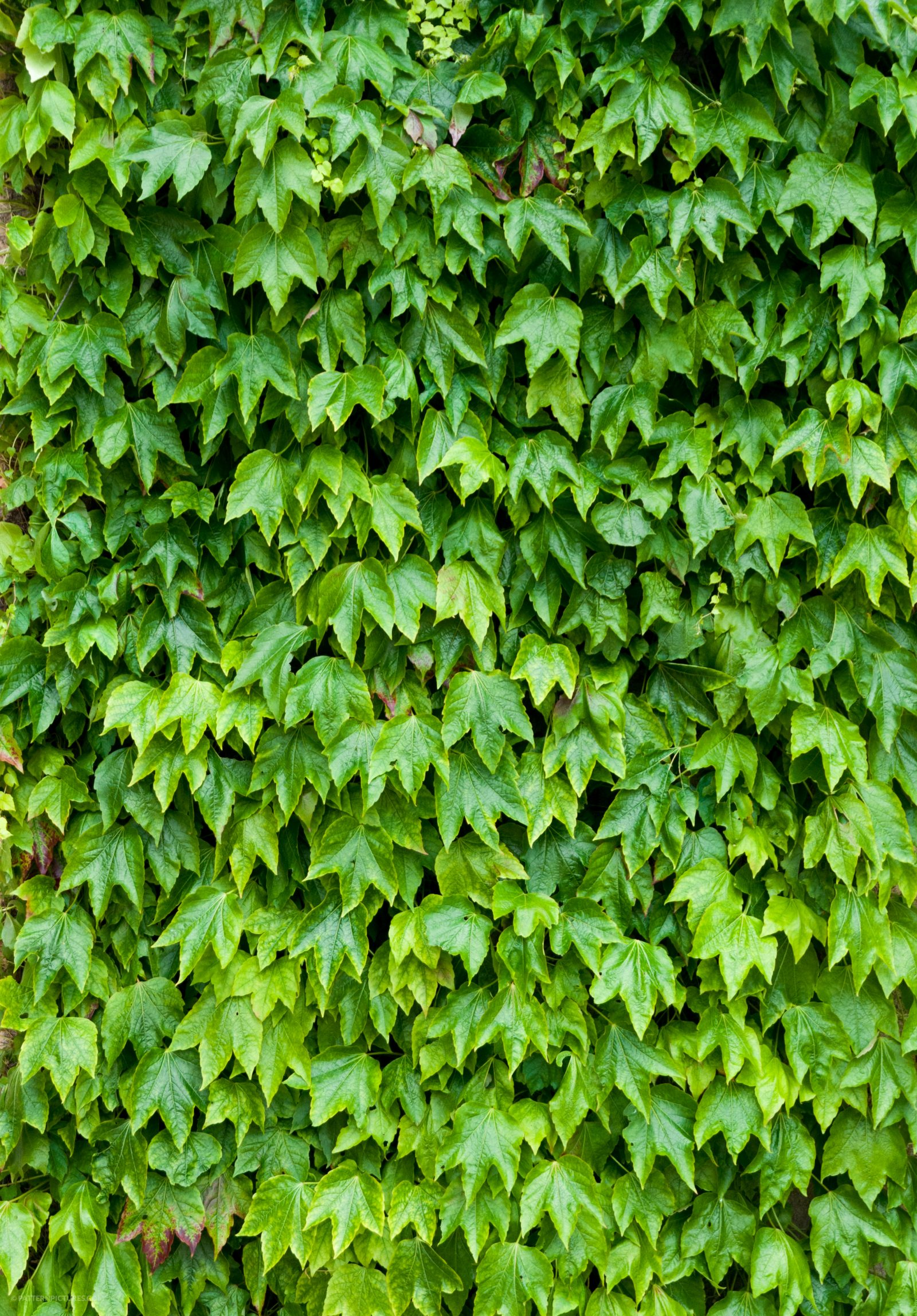 Ivy background free photo texture