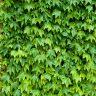 Ivy background free photo texture