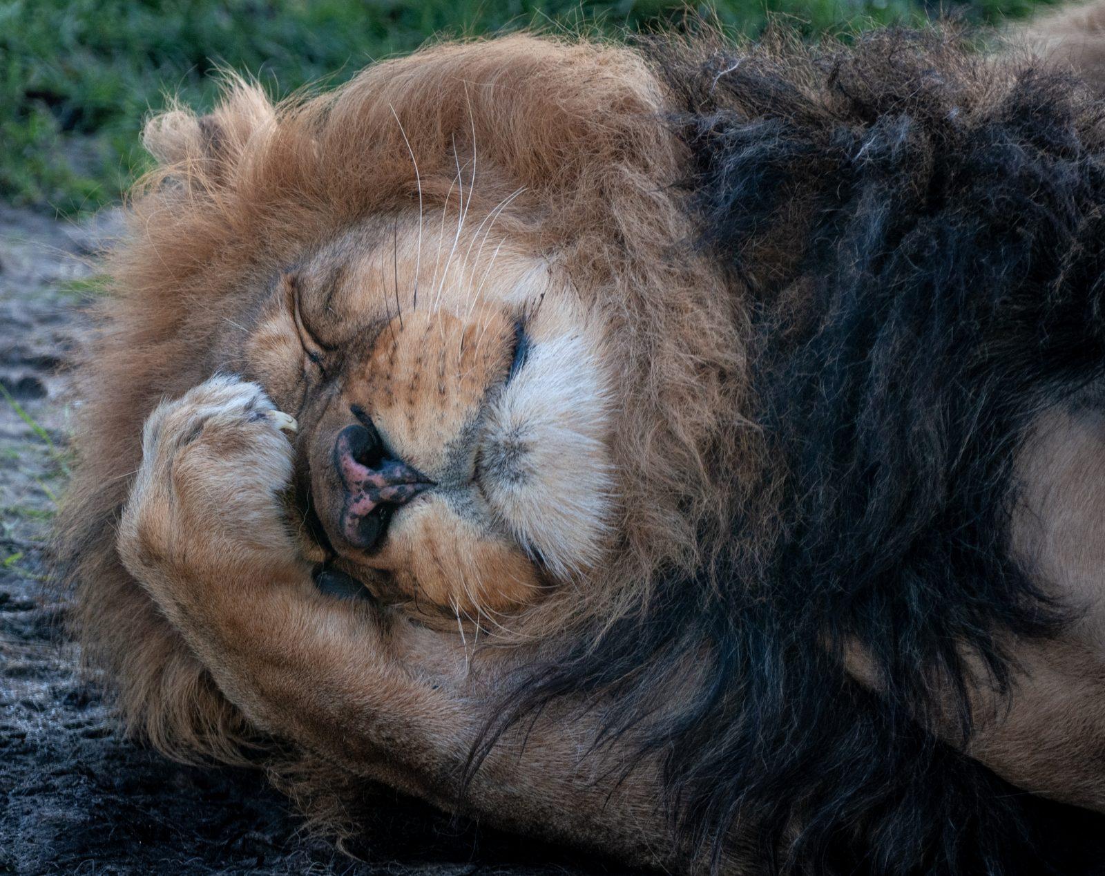lion thinking doh emotion hand on head