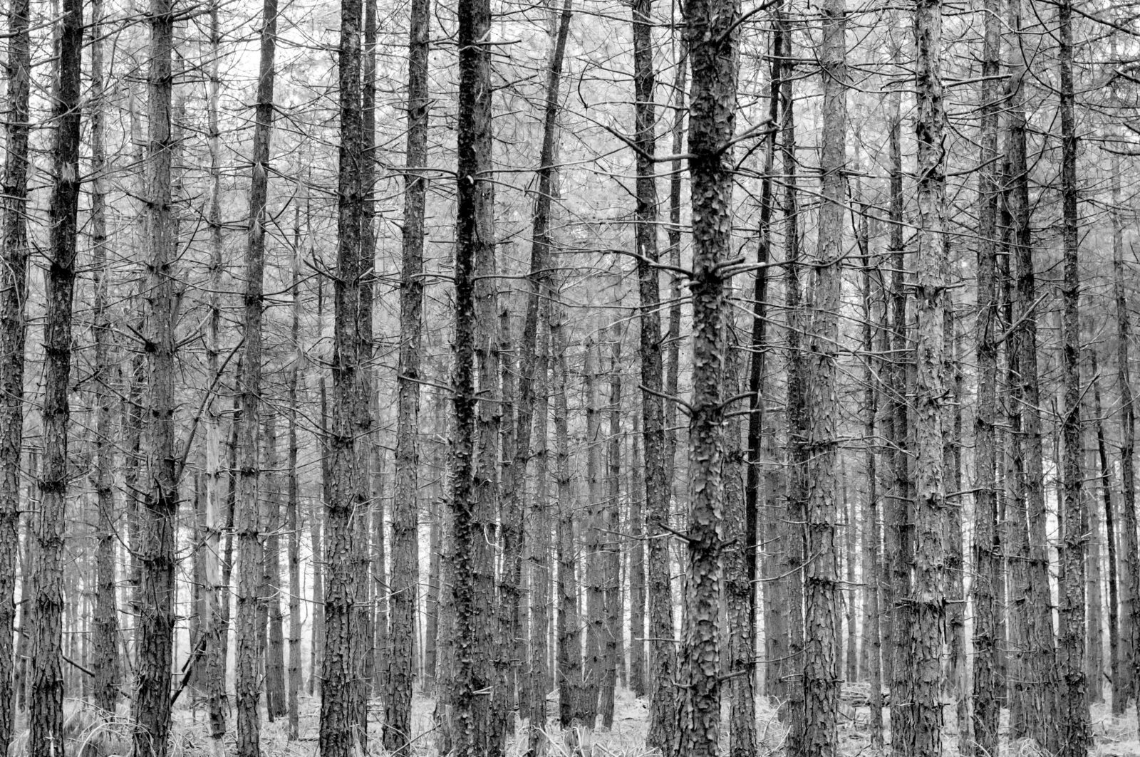 Pine forrest bare branches background