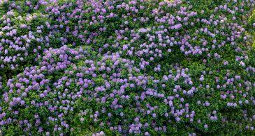 purple rhododendron pattern