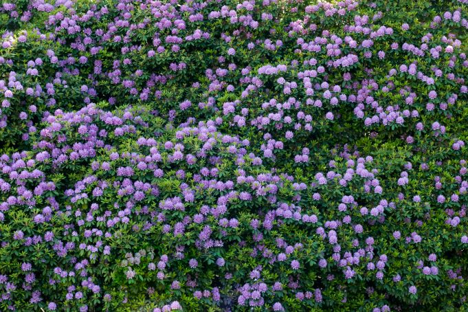purple rhododendron pattern