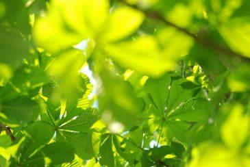 Sun lit palmately compound tree leaves