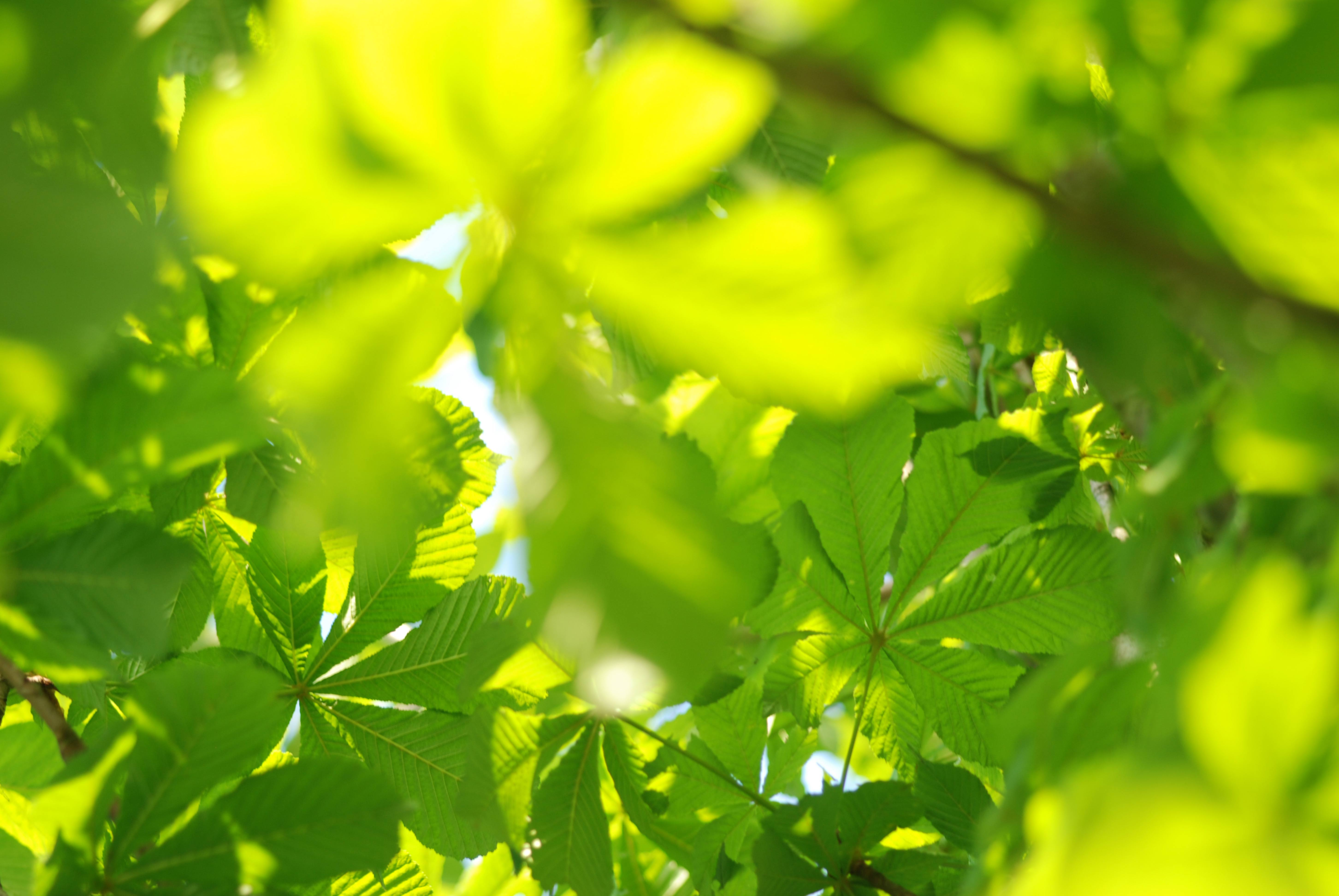 Sun lit palmately compound tree leaves