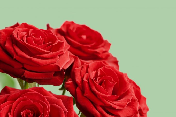 Red roses on green flat background
