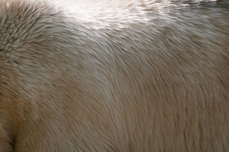 white polar bear background