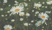 White daisy flowers background soft focus