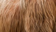 highlander bull hair texture