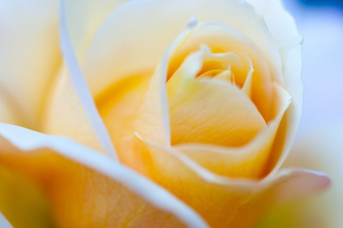 yellow blue rose
