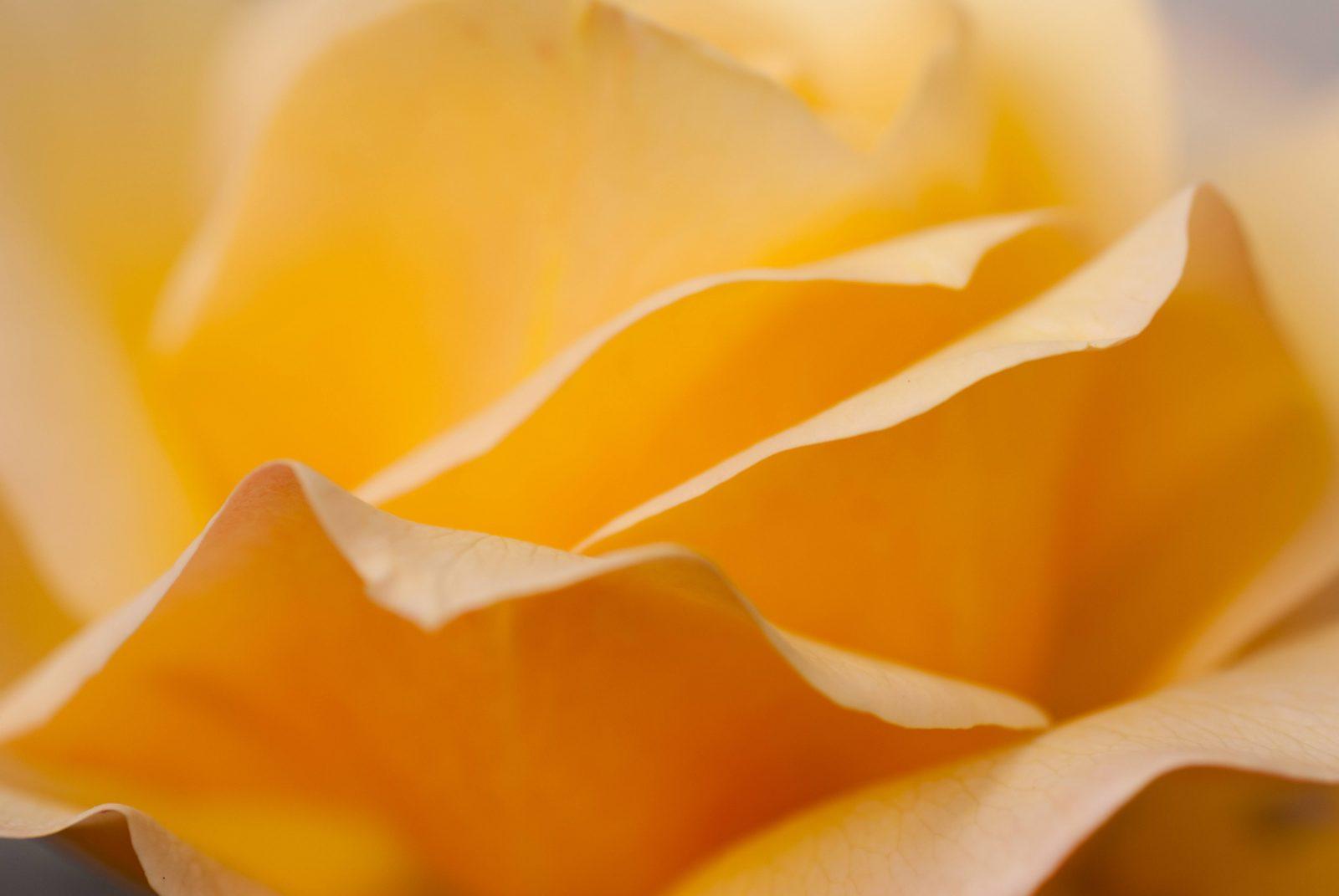 yellow rose leaves wallpaper
