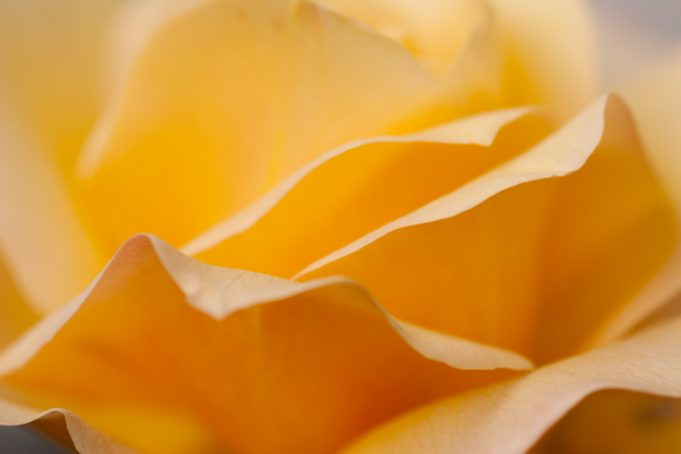 yellow rose leaves wallpaper