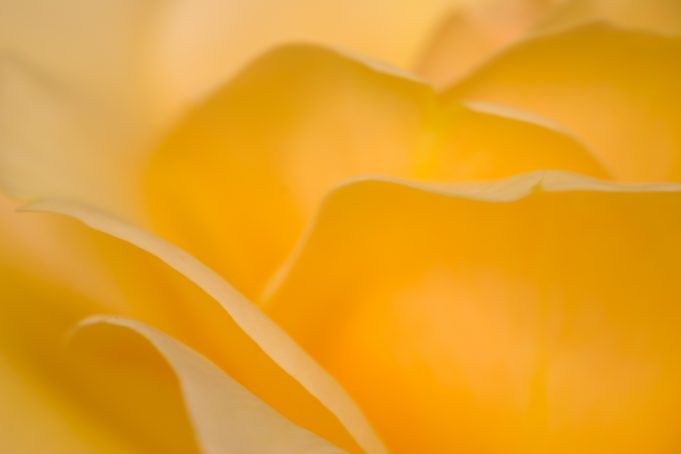 yellow rose soft focus